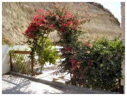 bougainvillea picture