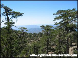 Cyprus pine forest