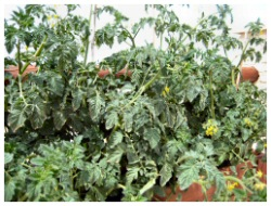 how to grow tomatoes successfully