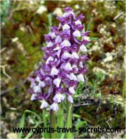 purplewhiteorchid