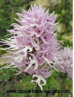 wavyleafmonkeyorchidpicture
