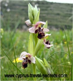 wild orchids in cyprus