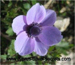 purpleanemonepicture