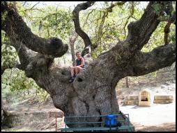 cyprus oak