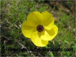 yellowanemonepicture