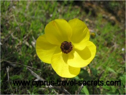yellowanemonepicture