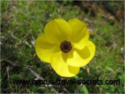 cyprus spring flowers
