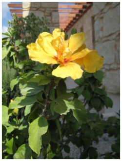 yellow hibiscus picture