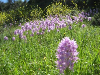 Wild orchids in Western Cyprus