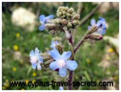 spring in cyprus - blue alkanet flower