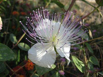 Caper bush flower picture