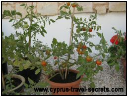 cherry tomatoes picture
