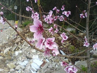 pretty pink blossoms in Cyprus