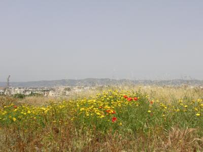 Poppies and yellow flowers in Cyprus