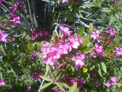 pink flower picture in Cyprus