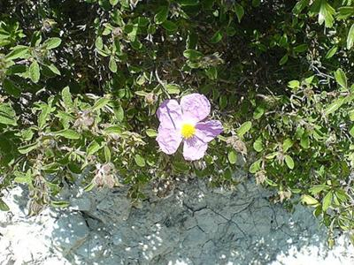 cistus picture also known as rock rose in Cyprus