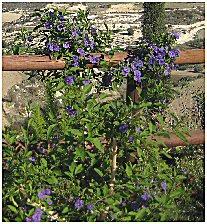 Cyprus shrub solano