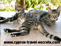 Cyprus cats