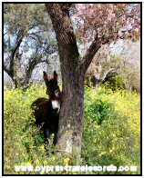 Cyprus Donkey picture