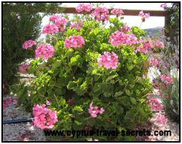 picture of geraniums