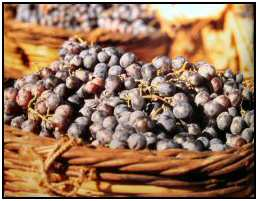 Cyprus grapes