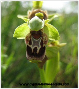 Cyprus bee orchid picture