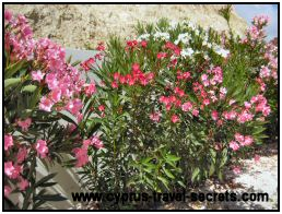 Oleander picture