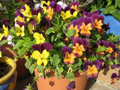 Yellow/purple and orange violas