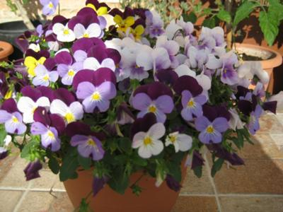White/purple/lilac and yellow violas