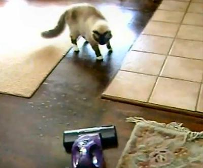 Cat playing with the hoover