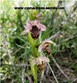 Ophrys umbilicata orchid picture